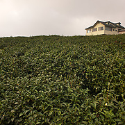 Tea Picking in Alishan Township,Chia Yi County, Taiwan
