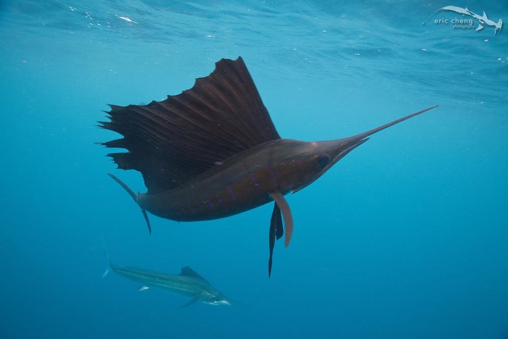 Atlantic sailfish (Istiophorus albicans) hunt baitballs in Isla Mujeres, Mexico.