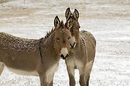 Burros, small donkey, (Equus asinus)