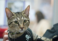 Wantagh, New York, USA. 7th February 2016. Wearing a harness with skull and crossbones, TIGER the tabby cat, one of the team players in the Hallmark Channel Kitten Bowl III, is with his new family, CHARLIE BROWN, who's holding the star whose new name is Yogi, and M. BENEDETTO,  of Massapequa, at Last Hope Animal Rescue's Open House, where the center's guests watch the game on TV and cheer on their team, the Last Hope Lions. Over 100 adoptable kittens from Last Hope Inc and North Shore Animal League America participated in the taped games, and the Home and Family Felines won the 2016 championship, which first aired the day of Super Bowl 50.