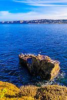 Seals, La Jolla Cove, La Jolla (San Diego), California USA.