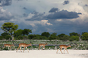 Impala and stormy skies, Etosha National Park, Namibia, Southern Africa. .Picture © Z&D Lightfoot. www.lightphoto.co.uk