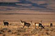 Pronghorn at Hart Mountain National Antelope Refuge, southeast Oregon. .