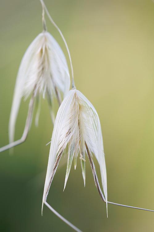 Flowers of Avenochloa spec., San Marino.