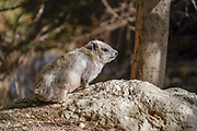 Rock Hyrax, (Procavia capensis). Photographed in Ein Gedi nature reserve, Judean Desert, Israel In January