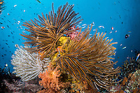 Feather Stars and Soft Corals<br /> <br /> Shot in Indonesia