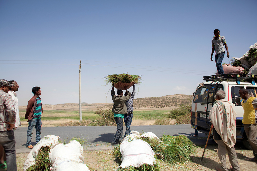 Men transporting Senti, a fresh long grass, from Adigudum to Mekelle. Senti is strewn on the floor of houses during religious and social ceremonies.