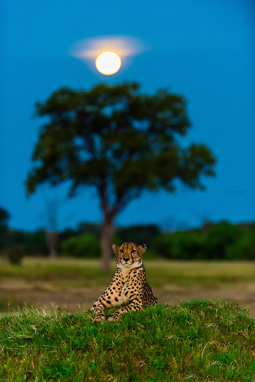 A cheetah sits atop a mound as a full moon rises in the background, near Kwara Camp, Okavango Delta, Botswana.
