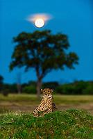 A cheetah sits atop a mound as a full moon rises in the background, near Kwara Camp, Okavango Delta, Botswana.