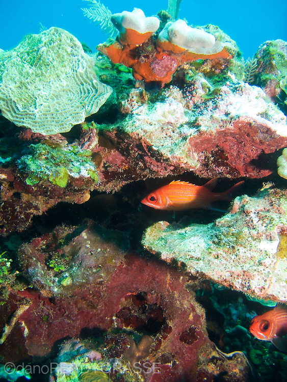 A pair of squirrelfish find shelter in the reef near Roatan, Honduras.