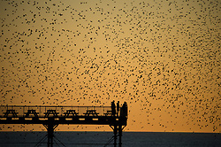 © Licensed to London News Pictures. 10/03/2014. Aberystwyth, UK At sunset at the end of a day of unbroken sunshine and temperatures in the mid teens, , a murmuration of tens of thousands of starlings fly in to  roost for the night on the cast iron legs of the Victorian seaside pier at Aberystwyth on the west coast of Wales UK. . Photo credit : Keith Morris/LNP