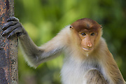 Proboscis Monkey<br /> Nasalis larvatus<br /> sub-adult<br /> Sabah, Malaysia