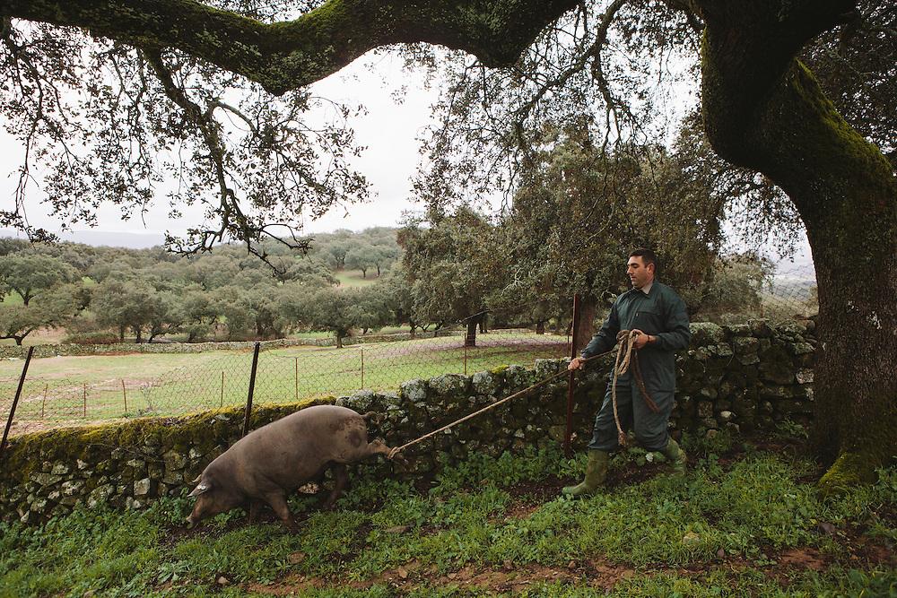 Cecilio (farm manger) leads an Iberico pig to slaughter. Finca Al Cornocal, Extramadura (Barajoz Province), Spain.