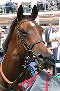 SIGNORA CABELLO winner of The Listed Langleys Solicitors British EBF Marygate Filles Stakes over 5f (£50,000) at the York Dante Meeting at York Racecourse, York, United Kingdom on 18 May 2018. Picture by Mick Atkins.