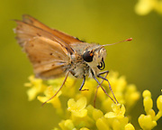 Image of a skipper butterfly