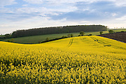 Rape seed crop field in Springtime, Swinbrook, The Cotswolds, Oxfordshire, England, United Kingdom