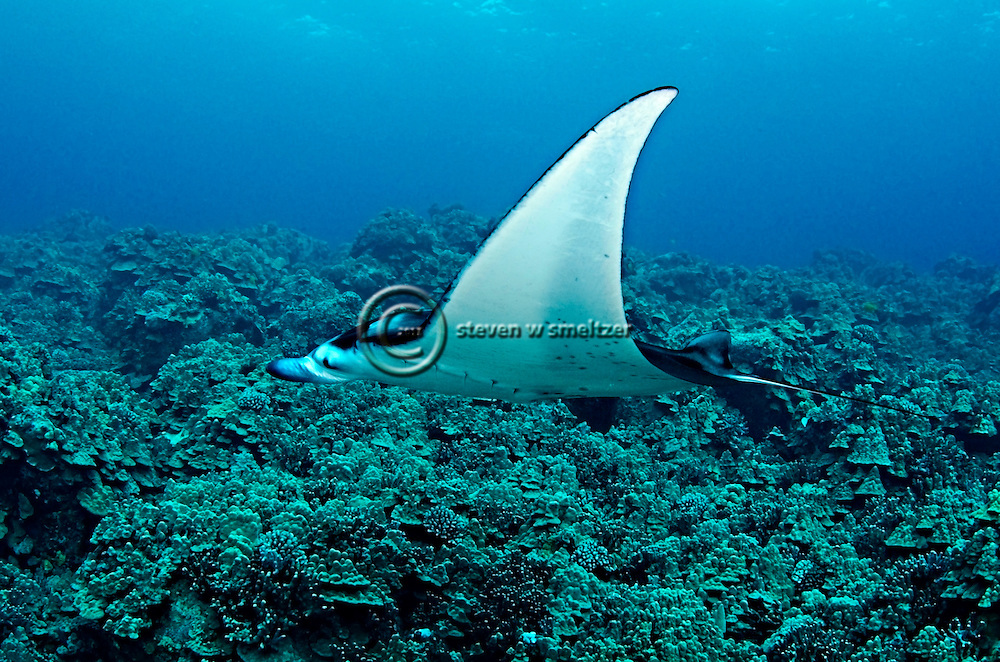 Manta Ray on Reef, Manta birostris, (Walbaum, 1792), Kona Hawaii