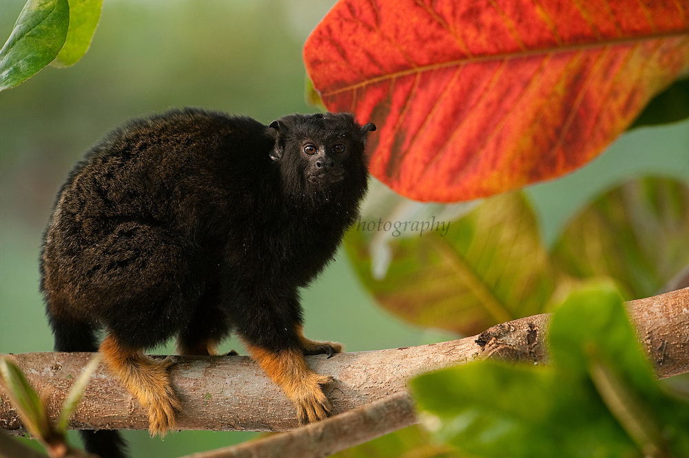 Golden-handed Tamarin (Saguinus midas) CAPTIVE. Part of LEGAL pet trade.<br /> Native to the in wooded areas along the Amazon River in Brazil, Guyana, French Guiana, Suriname, and Venezuela.<br /> Georgetown<br /> GUYANA<br /> South America