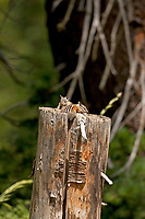 A pair of young Uinta Chipmunks rest on a split log that they live in.