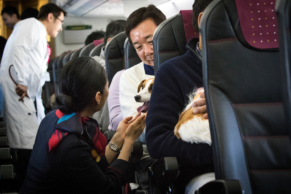 "CHIBA, JAPAN - JANUARY 27 : A flight attendant greets the dog during a flight in Chiba, Japan on January 27, 2017. Japan Airlines ""wan wan jet tour"" allows owners and their dogs to travel together on a charter flight for a special three-day domestic tour to Kagoshima Prefecture, southwestern Japan. As part of the package tour, the owners and their dogs will also get to stay together in a hotel and go sightseeing in rented cars.  (Photo by Richard Atrero de Guzman/ANADOLU Agency)"