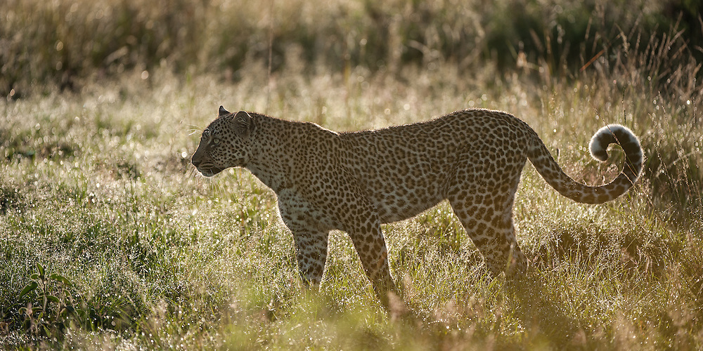 Leopard (Panthera pardus) stalking through the grass