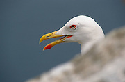 Yellow-Legged Gull (Larus michaelis). Gibraltar, UK.