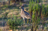 Spotted Thick-Knee, Gondwana Game Reserve, Western Province, South Africa