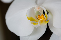 White Phaelenopsis orchid, philippinensis#6