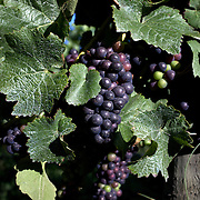 Pinot Noir grapes on the vine in the Marlborough Wine Region, Blenheim, on the South Island of New Zealand.<br /> New Zealand's largest wine producer, the Marlborough wine region has earned a global reputation for viticultural excellence since the 1970s. It has an enviable international reputation for producing the best Sauvignon Blanc in the world. It also makes very good Chardonnay and Riesling and is fast developing a reputation for high quality Pinot Noir. Of the region's ten thousand hectares of grapes (almost half the national crop) one third are planted in Sauvignon Blanc.  Marlborough, New Zealand, 10th February 2011. Photo Tim Clayton