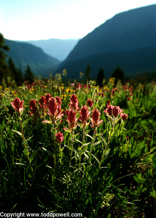 Indian Paintbrush wildflowers with Buffalo Mountain background