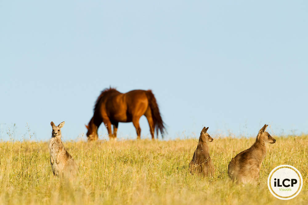 Eastern Grey Kangaroo (Macropus giganteus) females in grassland with Domestic Horse (Equus caballus) grazing in the background, Mount Taylor Nature Reserve, Canberra, Australian Capital Territory, Australia