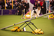 New York, NY - 8 February 2014. Dallas, a Papillon, climbing the seesaw. The agility trials include several jumps and other obstacles, including this seesaw.