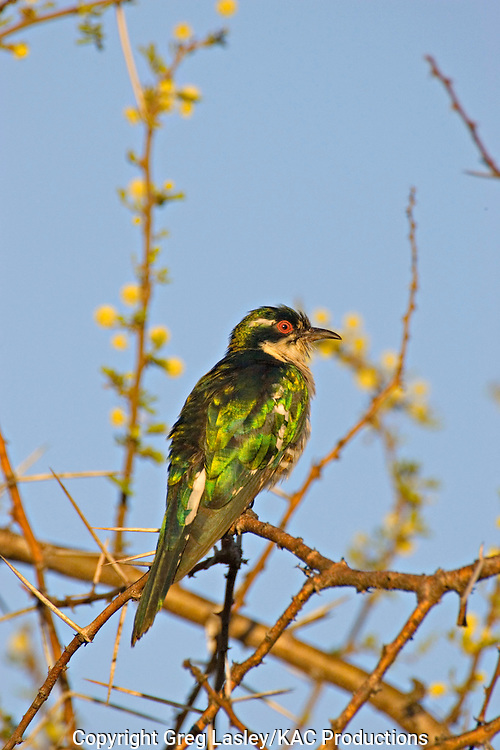 Dideric Cuckoo.Chrysococcyx caprius.AKA Diderick Cuckoo.AKA Diederick Cuckoo.male in moult.near Lataba camp,.Kruger National Park,.Limpopo Province,.South Africa.13 January 2006.