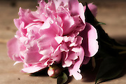 macro photography with pink peony flower