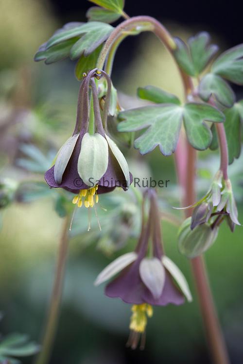 Aquilegia viridiflora - columbine