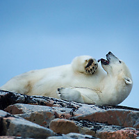 Canada, Nunavut Territory, Repulse Bay, Adult Male Polar Bear (Ursus maritimus) yawns while resting on rocky outcrop atop Harbour Islands along Hudson Bay