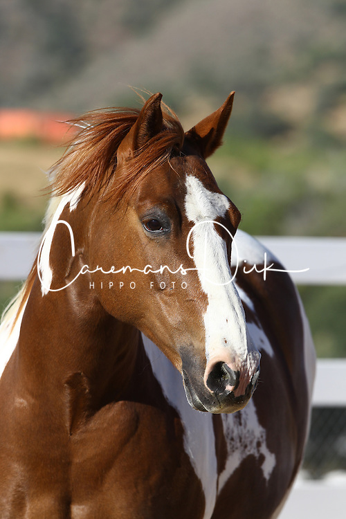 Paint Quarter Pony - Oakley<br /> Sommer Ranch CA<br /> © Hippo Foto - Bob Langrish