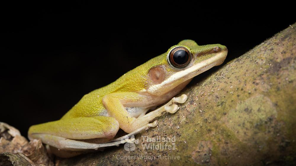 Eschatia Copper-cheeked Frog (Chalcorana eschatia) (in situ) in Lam Nam Kra Buri national marine park, Thailand