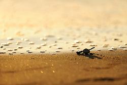 An olive ridley sea turtle hatchling (Lepidochelys olivacea) on its way to the sea. They orient themselves by the brightness of the horizont above the ocean and they are always at risk of being eaten by birds, crabs or later by fish.   Nach 45 bis 55 Tagen Brutdauer im warmen Sand ist diese junge Oliv- Bastardschildkröte (Lepidochelys olivacea) geschlüpft und macht sich auf den gefährlichen Weg ins Meer.