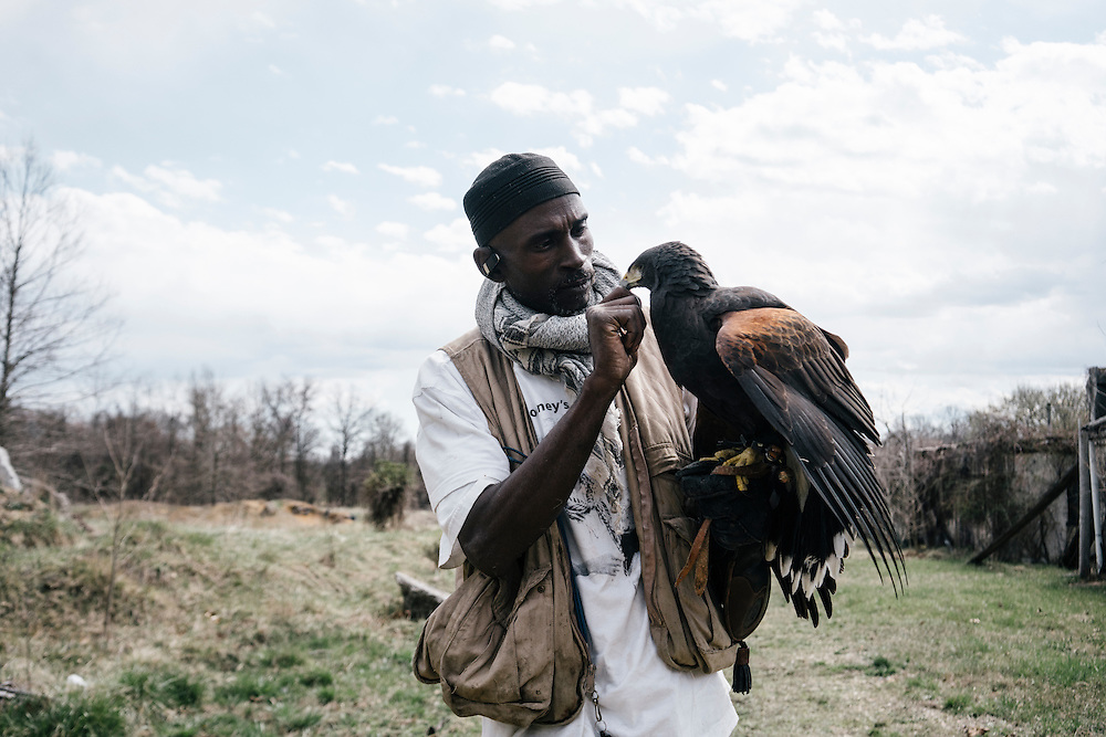 Agnes, a Harris hawk, hunts a mouse from the hand of Rodney Stotts at the Wings Over America raptor sanctuary in Maryland on March 17, 2016. Stotts will take the birds out on hunts and either russle animals out of the bushes or feed the raptors by hand.
