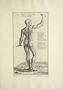 Male full body back woodcut print of Human Anatomy from Anatomia per uso et intelligenza del disegno printed in Rome in 1691