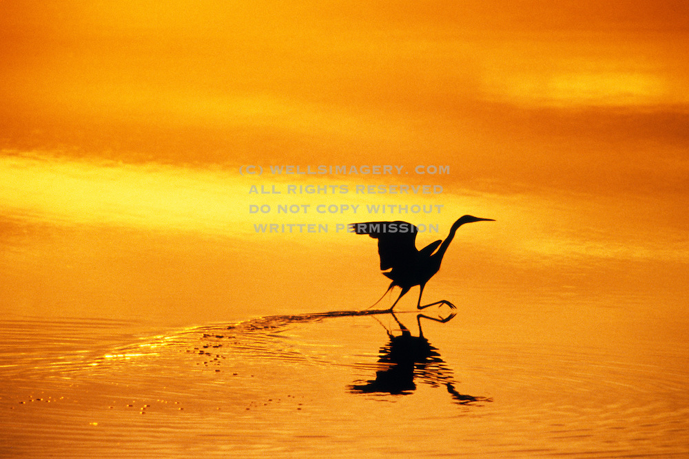 Image of an egret wading at J. N. Ding Darling National Wildlife Refuge, Sanibel Island, Florida, American Southeast