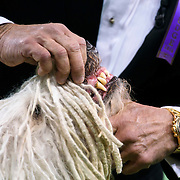 February 16, 2016 - New York, NY : The Komondor get a close inspection from a judge as it competes in the working group final during the  of the 140th Annual Westminster Kennel Club Dog Show at Madison Square Garden in Manhattan on Tuesday evening, February 16, 2016. CREDIT: Karsten Moran for The New York Times