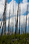 Recovering forest after a forest fire in Yellowstone National Park, Wyoming.