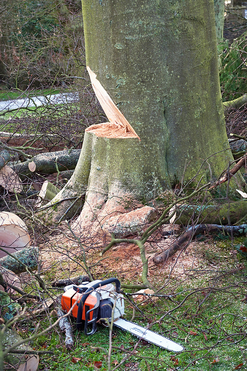 Diseased beech tree being felled