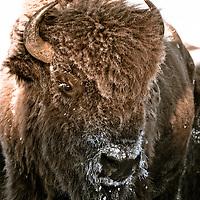 Bison bison, winter buffalo on the prairie rocky mountains, blackfeet reservation,  montana