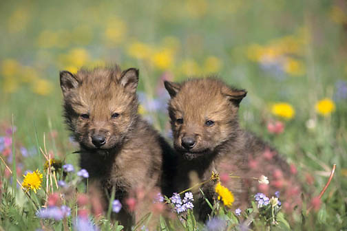 Gray Wolf, (Canis lupus) Spring pups in wildflowers in Montana.  Captive Animal.