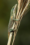 Green Anole (Anolis carolinensis)<br /> Little St Simon's Island, Barrier Islands, Georgia<br /> USA<br /> RANGE: Native to North America on the Atlantic Coast. Introduced to Hawaii.<br /> Arboreal lizard able to change color