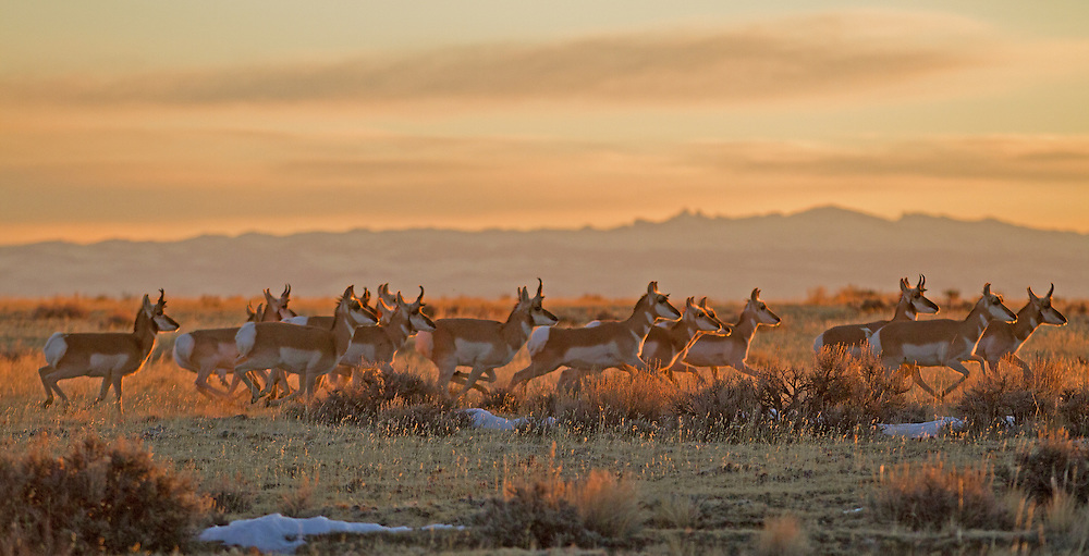 Pronghorns are the swiftest land mammals in North America and are among the fastest animals in the world. Built to outrun predators, pronghorns can travel at speeds in excess of 60 miles per hour for extended periods of time.