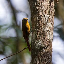 """""""Arapaçu-verde (Sittasomus griseicapillus) fotografado em Santa Maria de Jetibá, Espírito Santo -  Sudeste do Brasil. Bioma Mata Atlântica. Registro feito em 2016.<br /> <br /> <br /> <br /> ENGLISH: Olivaceous Woodcreeper photographed  in Santa Maria de Jetibá, Espírito Santo - Southeast of Brazil. Atlantic Forest Biome. Picture made in 2016."""""""